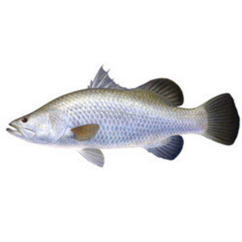BARRAMUNDI FISH BARRAMUNDI FISH