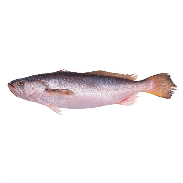 Bangamary Fish Bangamary Fish 600x600